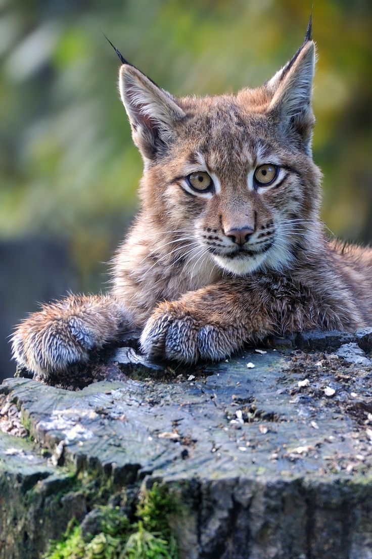 The lynx is my favourite animal, because when I lived in penhold there were different groups in the school sports. I was a part of the lynx. Plus they're cute.