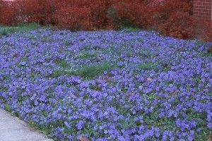 Periwinkle, vinca minor, is a shade or sun loving ground cover that spreads rapidly, even under shrubs.
