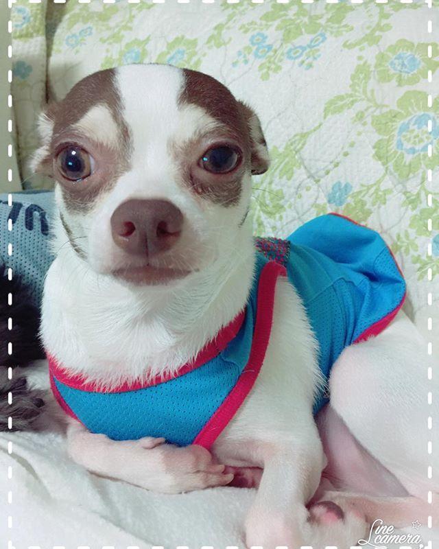 #ロミオ 〜〜!#耳 #みみ が〜〜😳🤣 ・ #男の子 #保護犬 #チワワ #チワワミックス #ちわわ #chihuahua #みっくす #ミックス犬 #多頭飼い #わんちゃん #犬 #いぬ #わんこ #dog #愛犬 #かわいい #動物大好き #犬と暮らす #犬好き