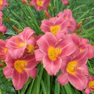 Rosy Returns Daylily-  Repeat bloomer