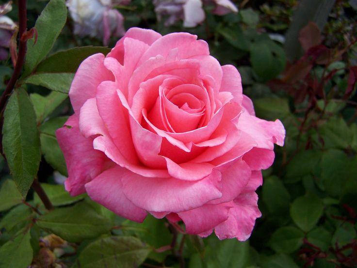 ~Rosa Congratulations~