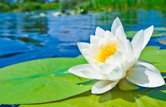 5 Filosofi Bunga Teratai Ini Ingatkan Kita untuk Hidup Sederhana | Pinterest | Tegg Sabrina | #berita #news #informasi #portalberita #malesnulis