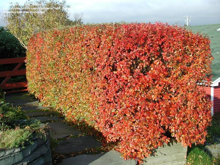 Cotoneaster Hedge showing fall colour | Hedges and Hedging ...