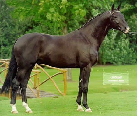 Gribaldi  1995 Trakhener stallion. Gribaldi was the impressive Trakehner champion stallion and Trakehner Stallion of the Year in 2008. He is the sire of Totalis, Painted Black, and many other top dressage horses. Visit barngirl.com for more,