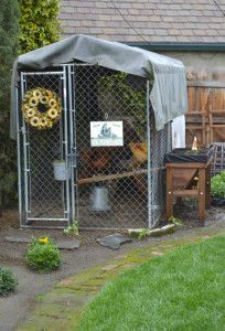 My own backyard chickens. Recycled pen now a chicken coop.