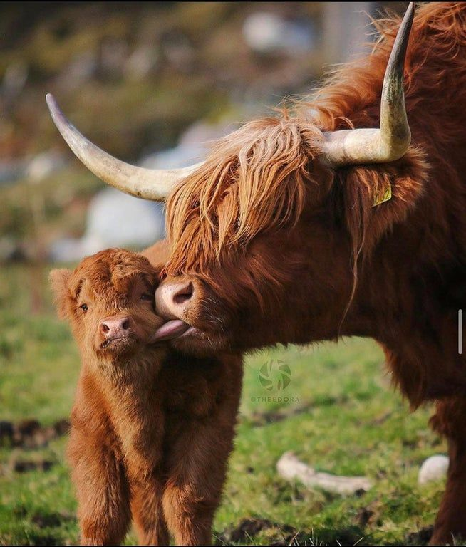 The Highland Cow Of Scotland Has An Unusual Double Coat Of Hair On The Outside Is The Oily Outer Hair The Longest O In 2020 Animals Wild Wild Animals Photos Cute Cows