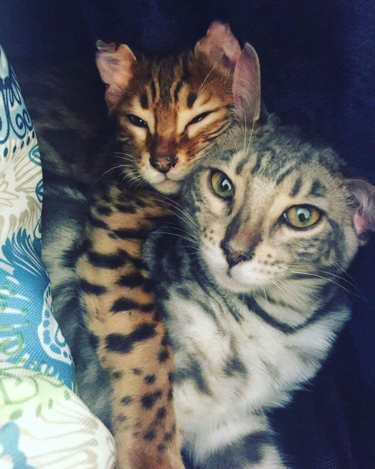 Queen City Bengals Cattery | Bengal Kittens for Sale ...