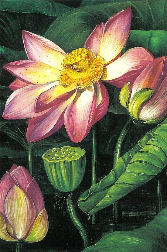 Lotus, by Marianne North