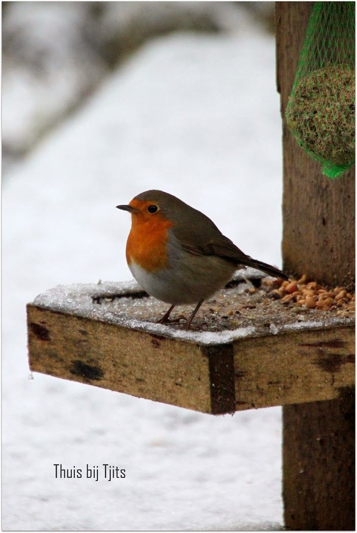 Thuis bij Tjits: Wintersfeer... Robin, Winter, bird, snow, cute, nuttet, rødkælk på roderbrædt, photo