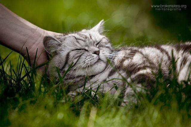 Zierliche Britisch Kurzhaar Katze, 9 Jahre im Silbertabbylook....