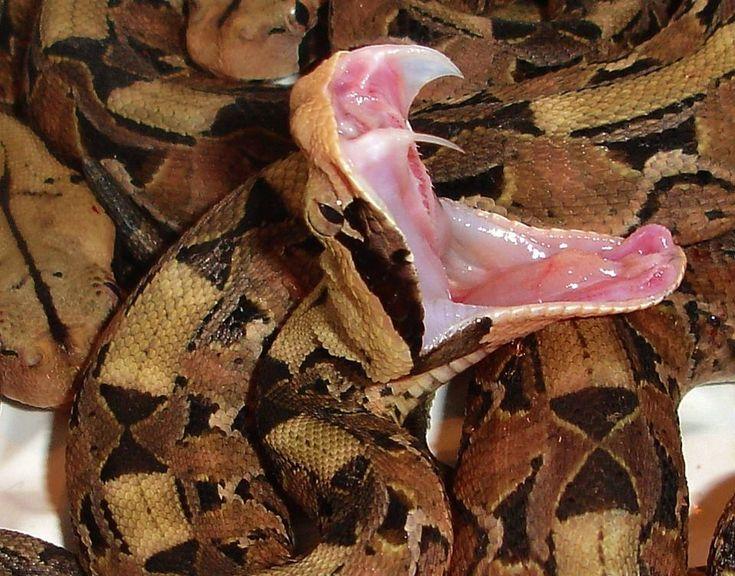 Click here to read this post in Spanish! Haga clic aquí para leer este blog en español!     Solenoglyphous fangs of a Gaboon Viper   Snake...