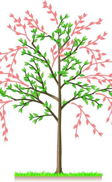Sauerkirschen richtig schneiden - Damit Sauerkirschen ihre kompakte Krone und ihre Fruchtbarkeit bewahren, sollten Sie die Bäume im Sommer direkt nach der Ernte schneiden.