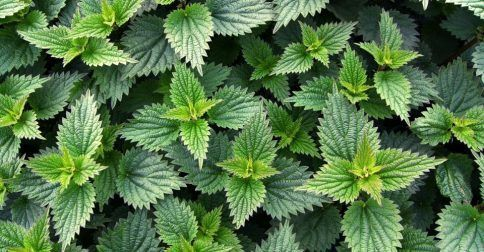 Το φυτό με τις 60 διαφορετικές θεραπείες που στην αρχαιότητα έχαιρε μεγάλης αναγνώρισης από τους γιατρούς της εποχής.: http://biologikaorganikaproionta.com/health/235465/