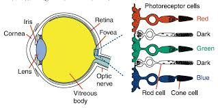 Cone cells- Cone cells are at the heart of our color perception; they selectively respond to specific colors. There are three types of cones: L red (long wavelength) cones, M green (medium wavelength) cones, and S blue (short wavelength) cones.