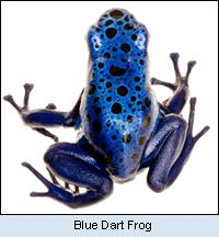 random beauty... this frog, the blue dart, is just right out gorgeous.