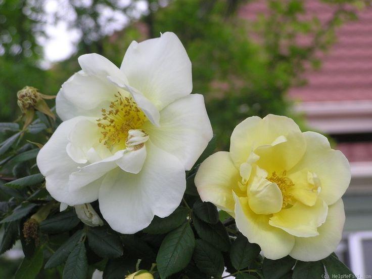 'Frühlingsgold' Rose Photo
