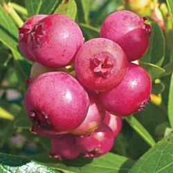 PINK LEMONADE BLUEBERRY  As rich in anti-oxidants as its blue cousins! Fruit has a mild pleasant flavor with a high sugar content that makes them perfect for fresh eating or baking.