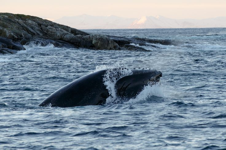 Subwing and Kille whale in North of Norway