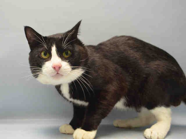 SOCKS - A1083656 - - Brooklyn  ***TO BE DESTROYED 08/14/16*** SOCKS CAME IN WITH MITTENS(ALREADY IN SAFE FOLDER!)… CAN'T WE GET SOCKS THE SAME GOOD FORTUNE? This 4 year old has a sweet face that's totally squishable! But apparently not everyone thinks this or he wouldn't be in this position! This position being that he will be killed unless a FOSTER OR ADOPTER is found! He will need someone with EXPERIENCE but other than that he just needs love! PLEA