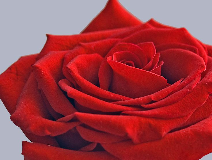 RED ROSE by Aili Alaiso, Finland
