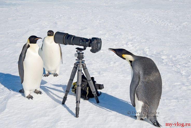 Пингвины — наимилейшие создания. 21 фотография
