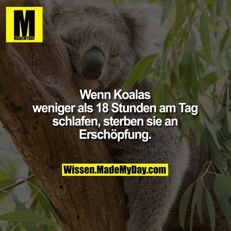 Wenn Koalas weniger als 18 Stunden am Tag schlafen, sterben sie an Erschöpfung.
