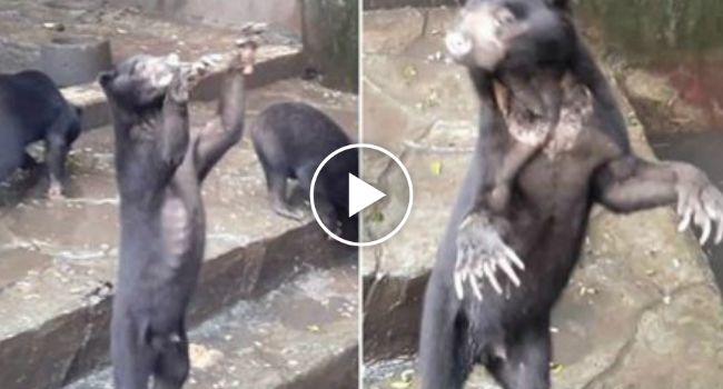 Vídeo Mostra Ursos Subnutridos Implorarem Comida Aos Visitantes De Jardim Zoológico Na Indonésia