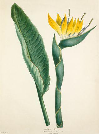 Margaret Meen -- Strelitzia reginae -- Margaret Meen -- Artists -- RHS Prints