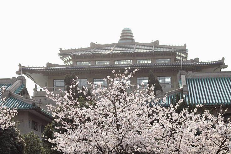 Rose Tinted Illustration: SAKURA CHERRY BLOSSOM TREES // AT WUHAN UNIVERSITY - CHINA