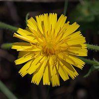 Taraxacum officinale - Wikipedia