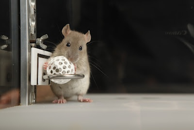 The new rat is called Estelle. She plays basketball in science centre Heureka, Vantaa.