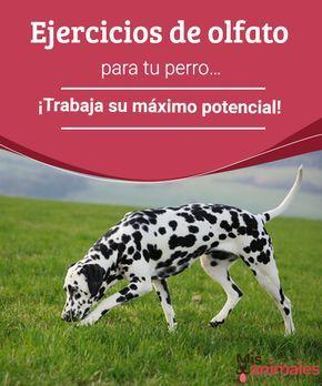 Ejercicios de olfato para tu perro... ¡Trabaja su máximo potencial! - Mis animales  Pocas veces se ofrecen a los perros juegos que consistan en ejercitar su mayor sentido. Por eso, aquí te presentamos ejercicios de olfato para tu perro.