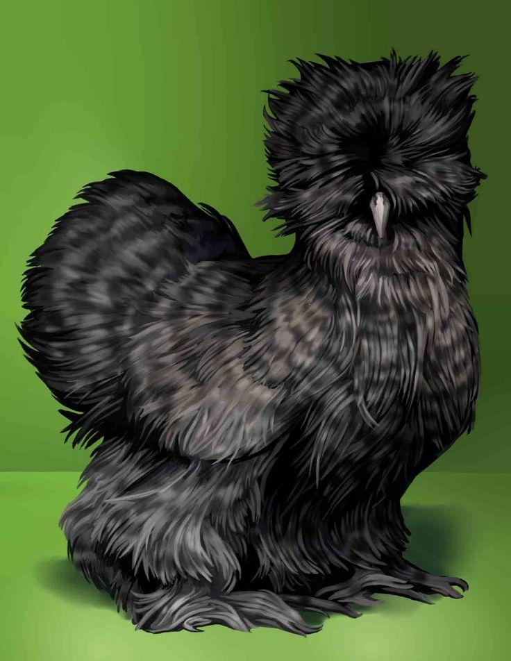 Poule nègre-soie noire