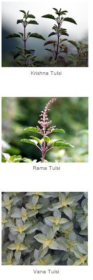 3 Types of Tulsi (Holy Basil) ~  According to WebMD, Holy basil is thought to decrease pain and inflammation. There is interest in using holy basil seed oil for cancer because of the oil's ability to act as an antioxidant. Tulsi might also lower blood sugar, help with the common cold, influenza, asthma, bronchitis, earache, headache, stomach upset, heart disease, fever, viral hepatitis, stress, and as a mosquito repellent!