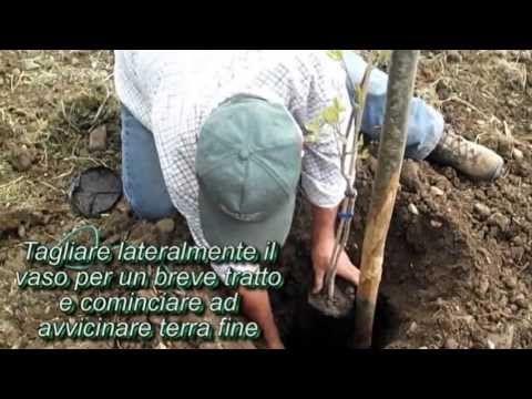 Come interrare  una pianta di  Pistacchio