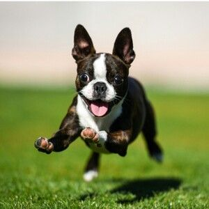 """Boston Terrier with the """"zoomies."""""""