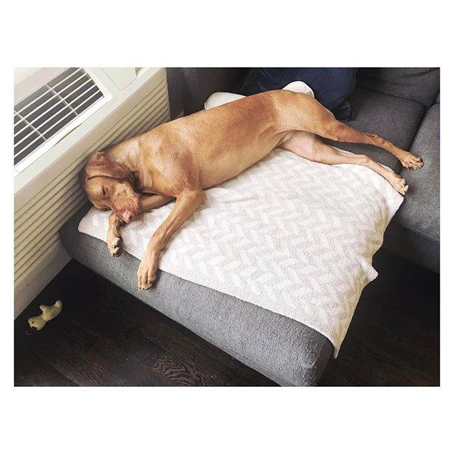 Still in a dream💤💤💤 まだ夢の中。。。😴。 。 。 。 。 。 #愛犬 #イヌ #いぬの気持ち #いぬなしでは生きていけません #イヌスタグラム #ねぼすけ #犬好きな人と繋がりたい #ビズラ #vizslagirl #vizslaofinstagram101 #vizslaofinstagram #doglife #napping #sleepyhead #vizslalife #vizslalover #vizsladog #thursday #happydog #inadream