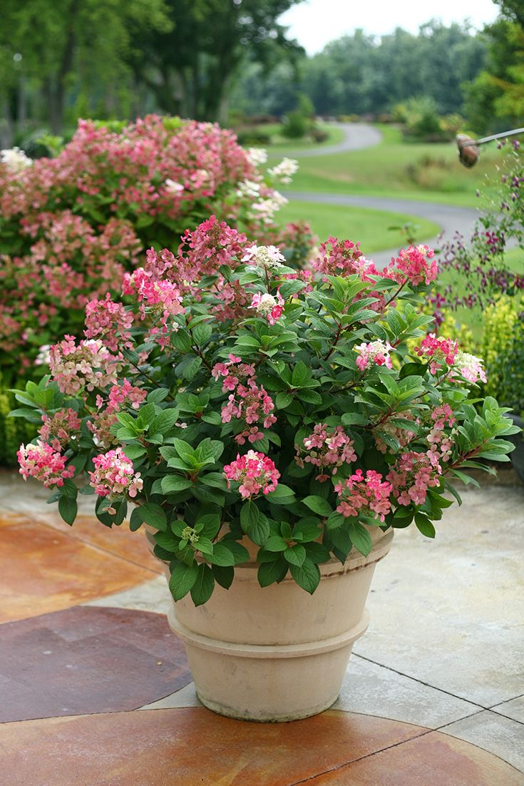 Little Quick Fire®  hydrangea is a dwarf version of the popular Quick Fire® hydrangea, reaching a mere 3-4' tall and wide.  http://emfl.us/BULd