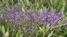 Mateřídouška (Thymus serpyllum)
