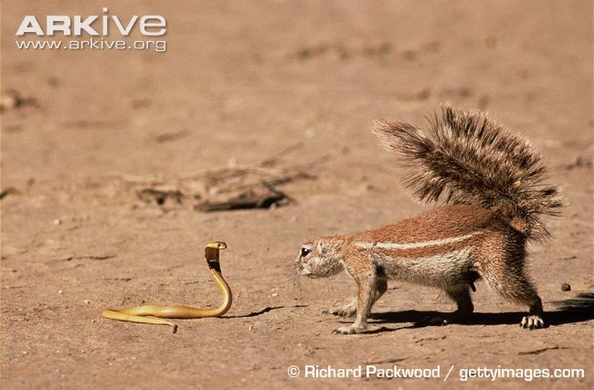 South African ground squirrel investigating a lethal juvenile Cape cobra