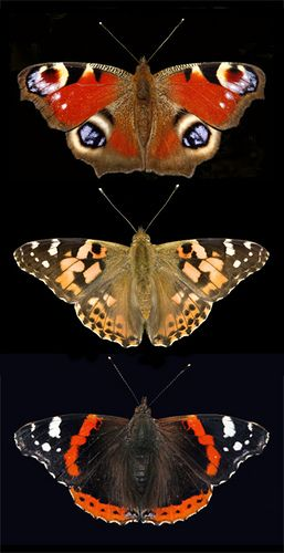 Peacock, Painted Lady, and Red Admiral butterflies