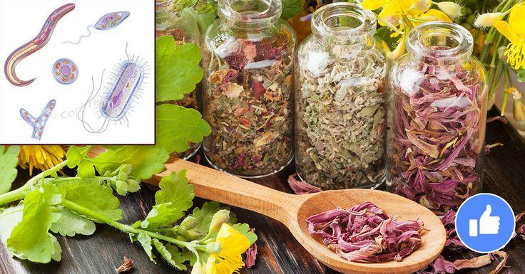 Лучшие антипаразитные травы! Питание играет главную роль в здоровье человека. Не правильное, беспорядочное, жирное и сладкое питание — всё это создаёт идеальную среду для размножения паразитов — от вирусов до глистов. Необходимо включать в свой рацион продукты, которые обладают противопаразитарным действием : большое количество зелени, овощей, пряностей и трав! Питайтесь правильно, проявляйте заботу о себе и БУДЕТЕ ЗДОРОВЫ! …