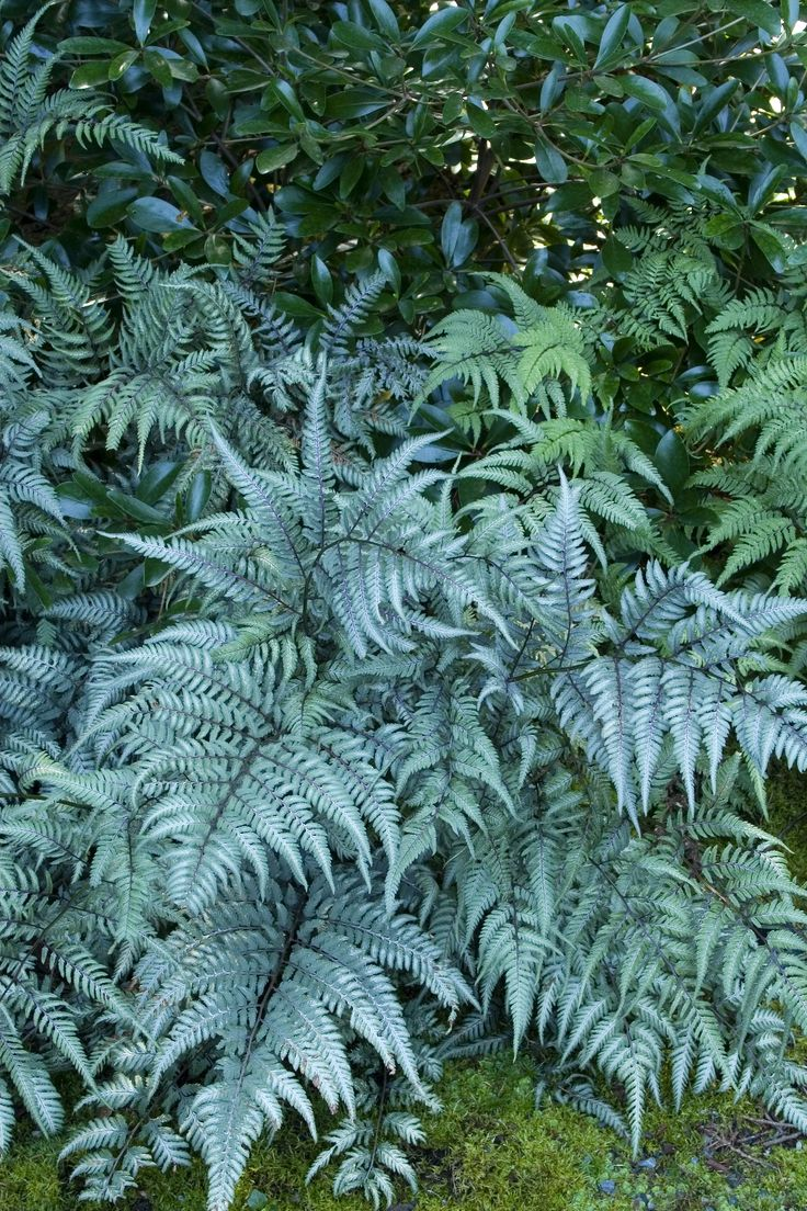 Japanese Painted Fern has a short, spreading habit that looks great planted in a low trough set in a bright, but not hot and sunny window. Silvery-blue fronds adds a bit of light to indoor plantings. Like it's red-hued cousin, a bit of a challenge, but a wow, too. Zone: 5 – 8