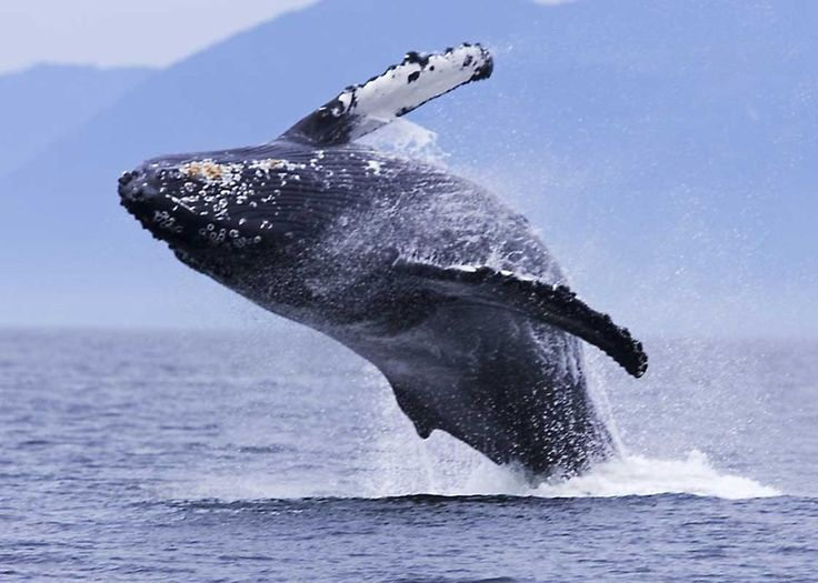 Breaching Humpback whale, Tofino, Canada