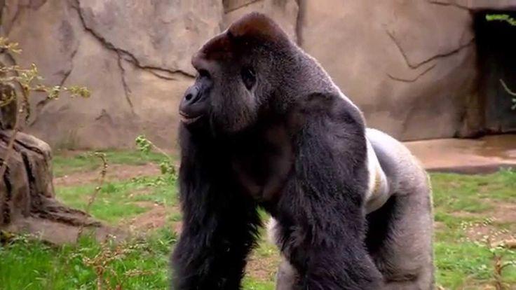 New Silverback Gorilla Harambe 1st Time Out - Cincinnati Zoo