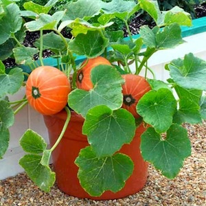 WINDSOR HYBRID PATIO Pumpkin Seeds85-90 days  Miniature, deep orange pumpkins reach 4-5 inches across and are arranged on the stems of upright growing 2 foot tall plants. The fruit is great for decorating and makes a wonderful pumpkin pie.