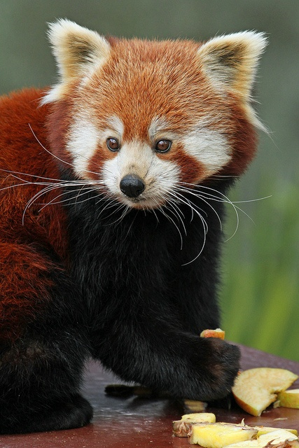 Red Panda by Buggers1962, via Flickr