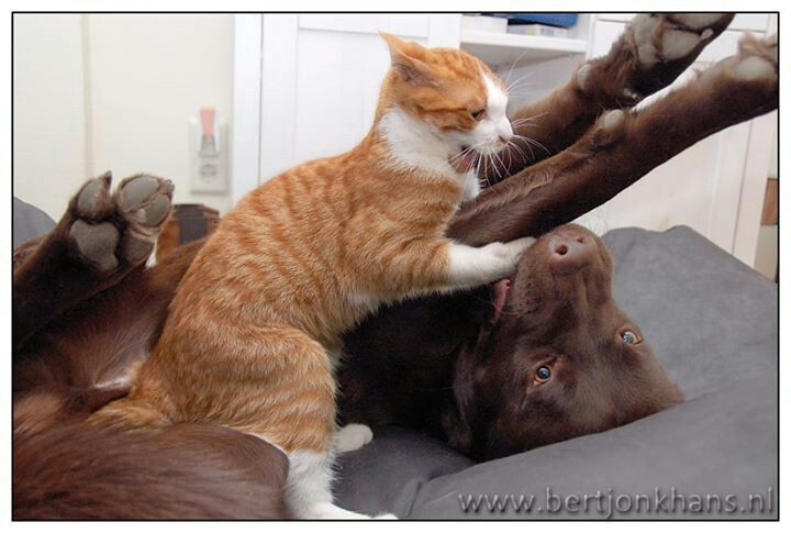 Chocolate Labrador playing with ginger and white cat