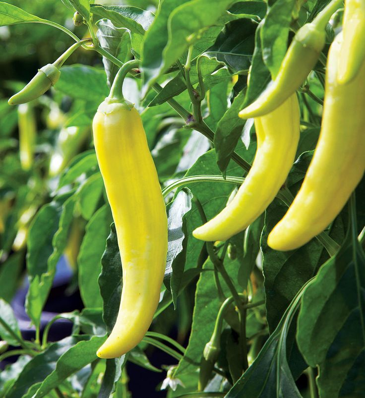 Hot Banana Pepper Is Known For Producing 6 Inch Long 400 x 300