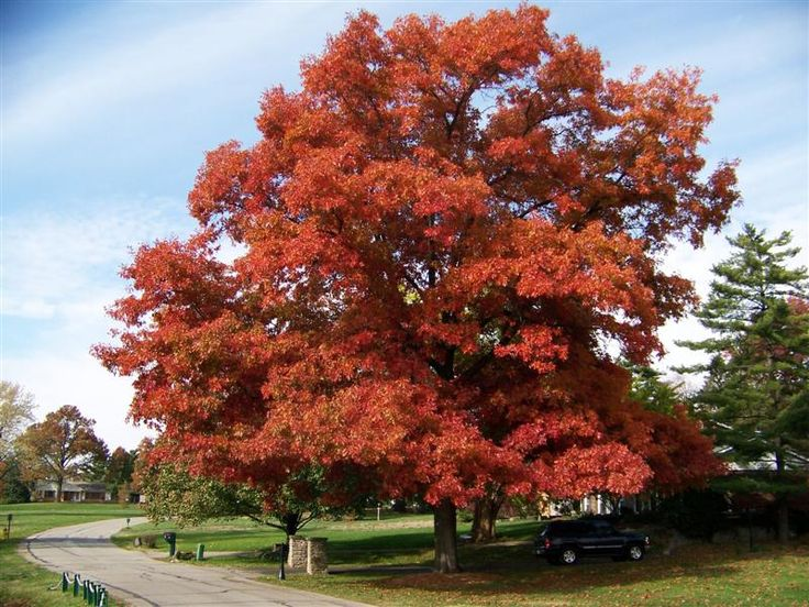173 best Quercus images on Pinterest